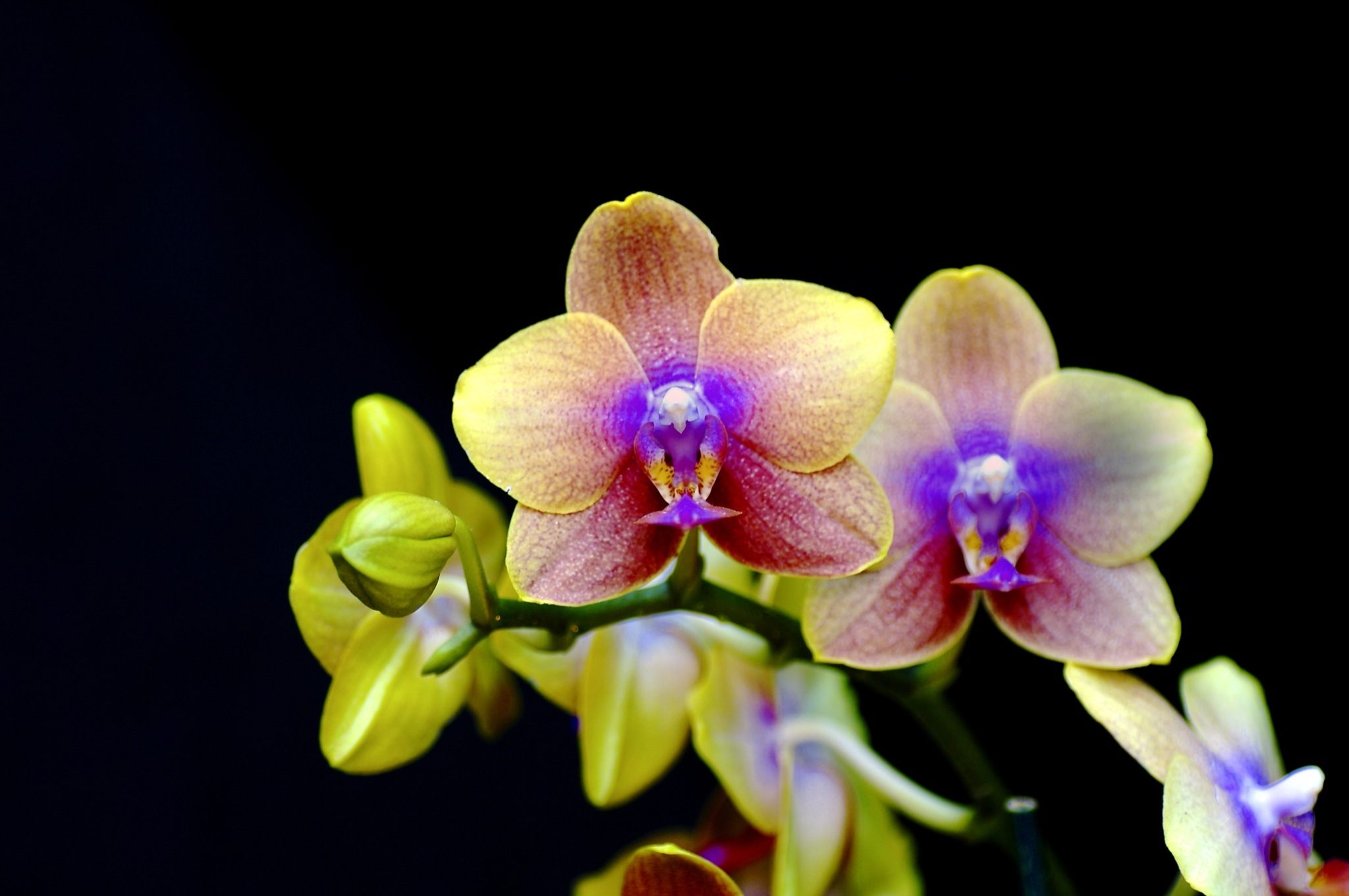 Pulchritude  Orchid   ...